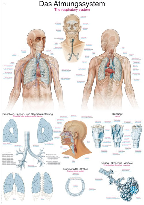 Radecker Notfallmedizin - Lehrtafel Atmungssystem