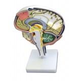 Gehirnschnittmodell