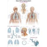 Lehrtafel Atmungssystem