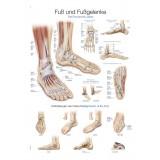 Lehrtafel Fuß