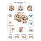 Lehrtafel Gehirn