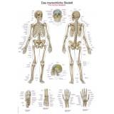 Lehrtafel Skelett